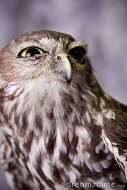 squinting-owl-13434744