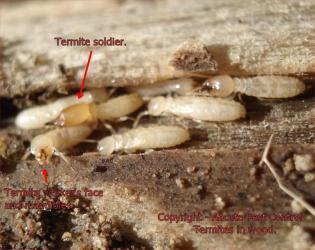 termite wood
